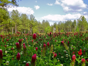 Whitetail Deer Food Plots and Dove Fields