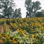 foodplotsunflowers